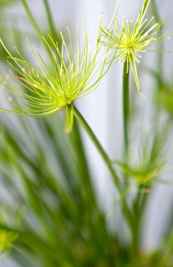 Les vertus purifiantes de la plante offre un coup de fraîcheur à votre intérieur.