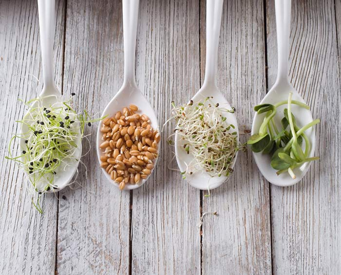 Graines germées de luzerne, blé, oignons, tournesol